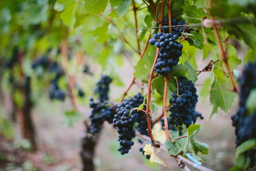 Vineyard Pinot Noir Grapes