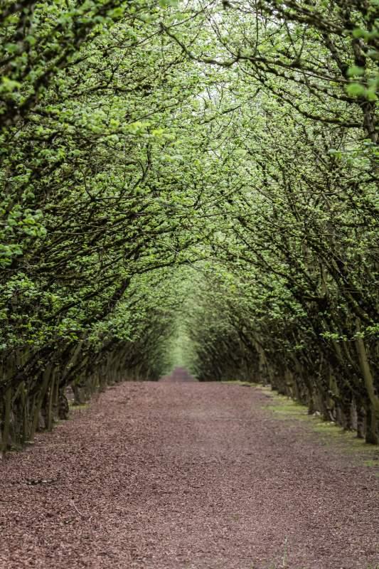Oregon Filbert Orchard Hazelnut Willamette